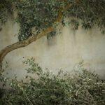 Overleeft mijn olijfboom de winter?
